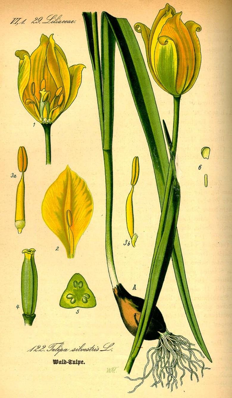 Sylvestris Tulip paintings 1885