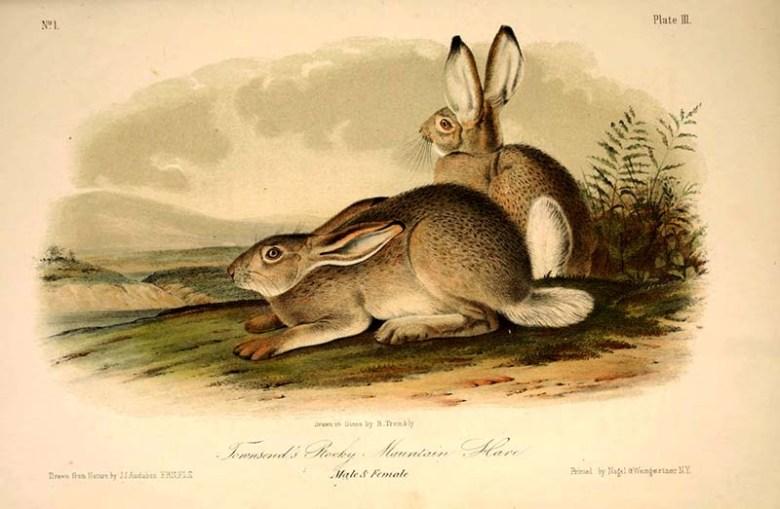 Rocky Mountain Hares