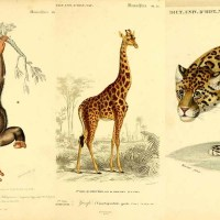 Amazing Royalty Free Vintage Animal Prints To Download