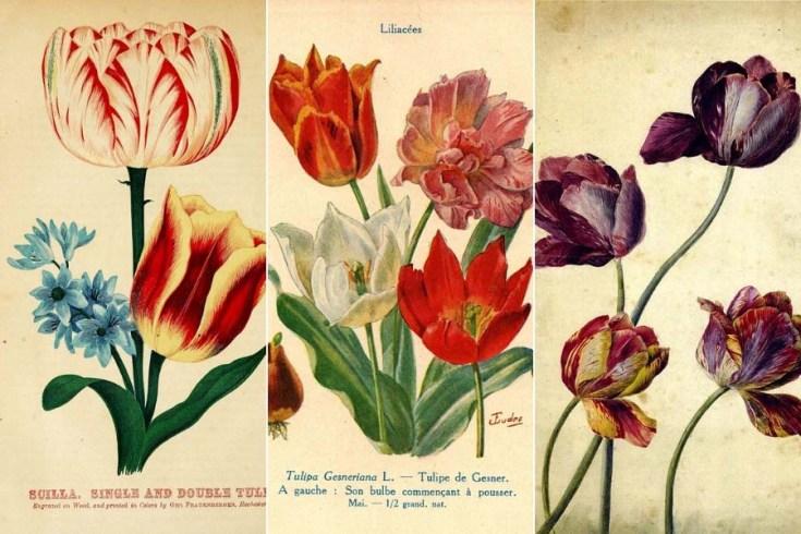 Beautiful Vintage Tulip Paintings