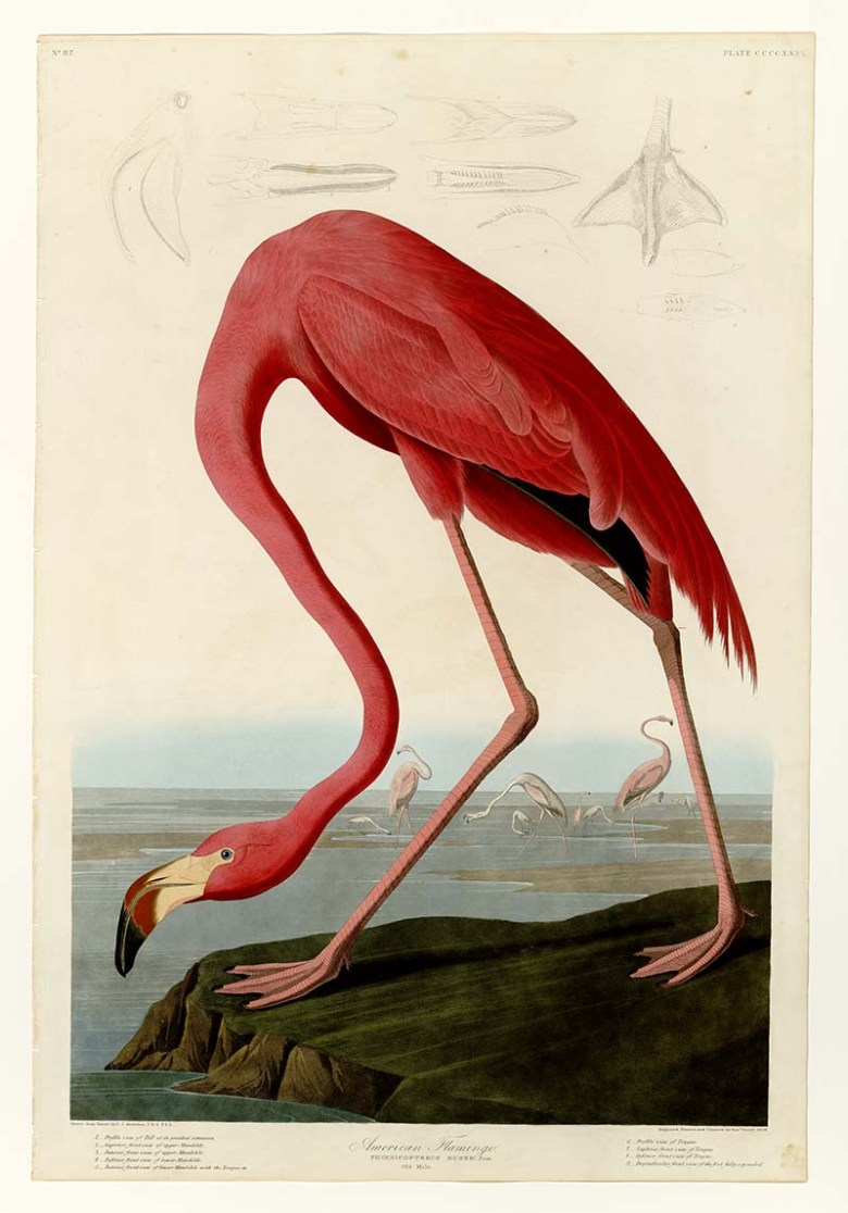 Audubon American Flamingo Art Prints