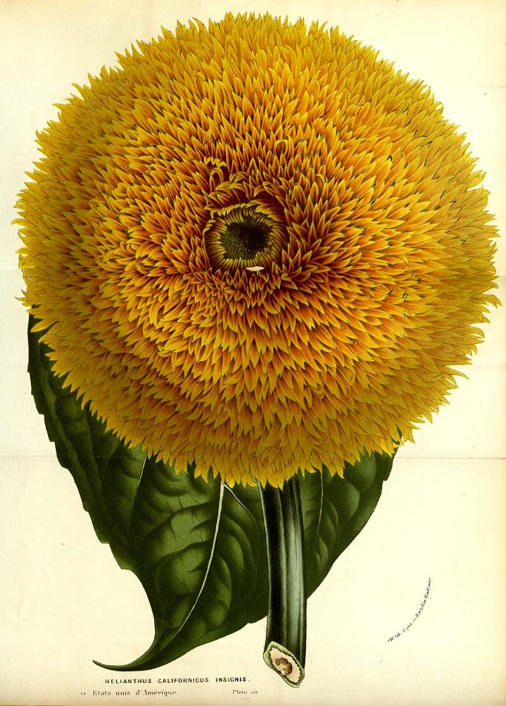 California Sunflower