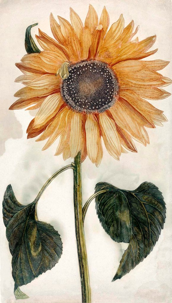 Free Botanical Sunflower Drawings To Download Print Picture Box Blue