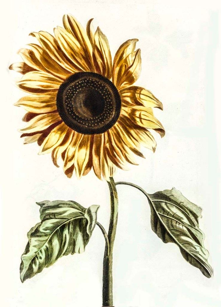 Johannes Teyler sunflower drawings