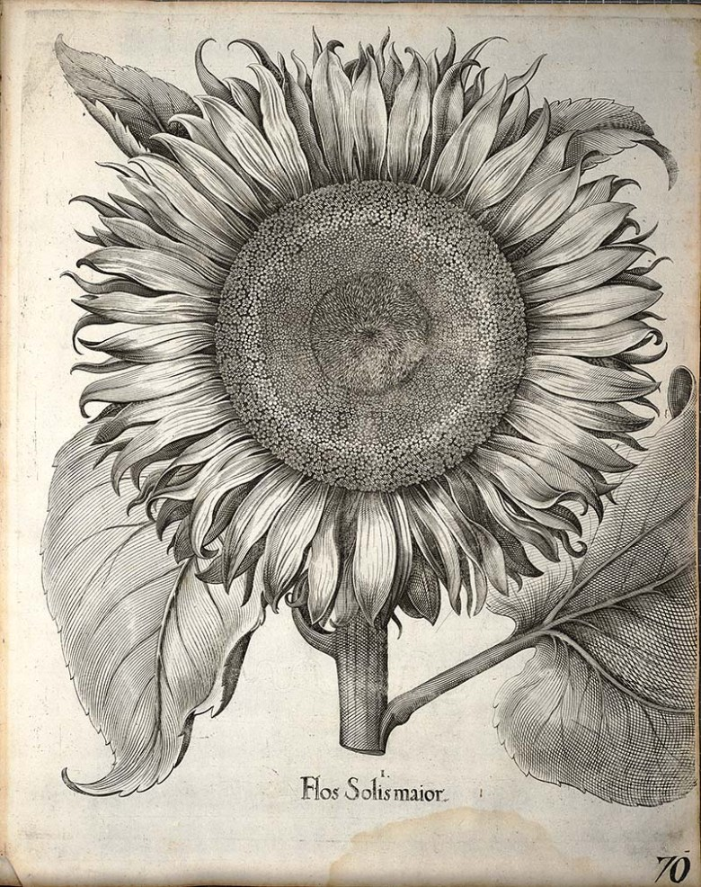 Black and white drawing of a sunflower head