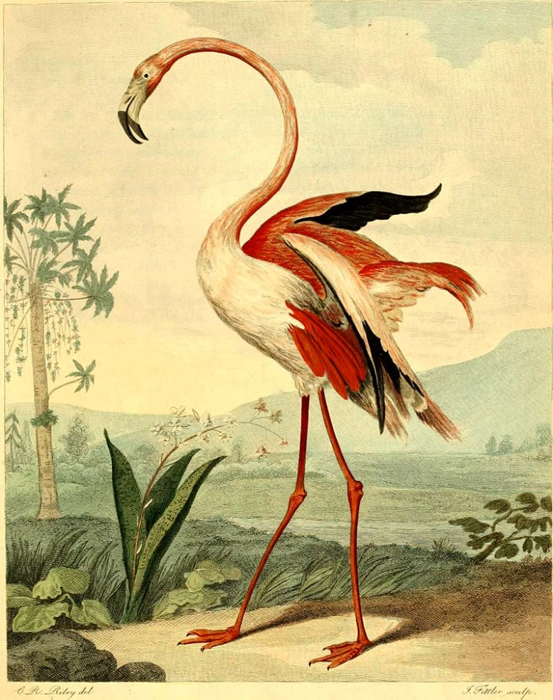 Greater flamingo art prints 1792