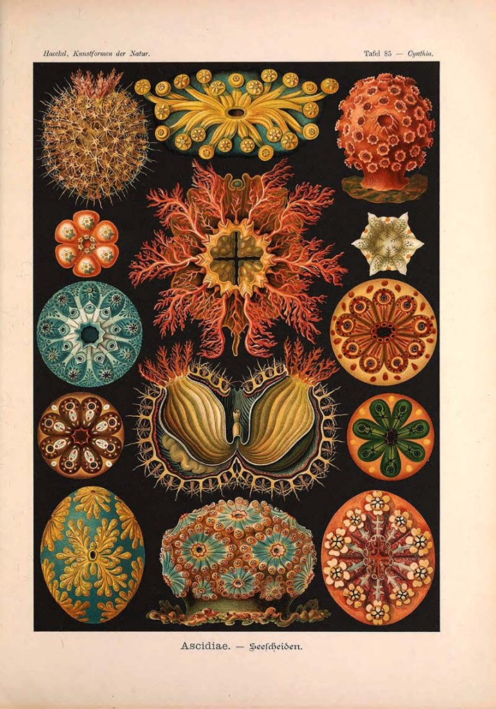 sea squirts Ernst Haeckel prints