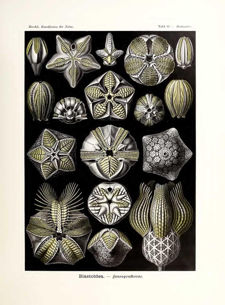 Blastoidea Kunstformen der Natur