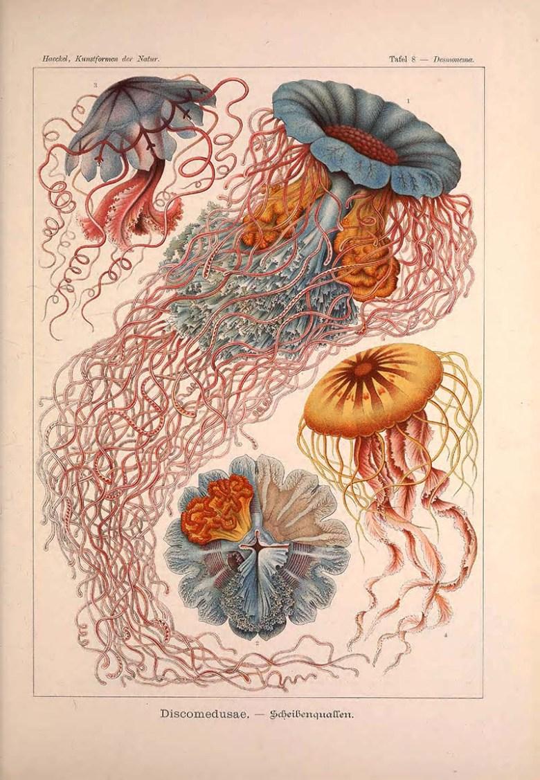 Ernst Haeckel Print Discomedusae