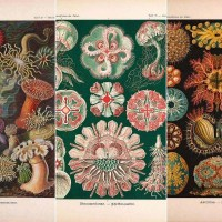 Free Ernst Haeckel prints of  fabulous nature wall art