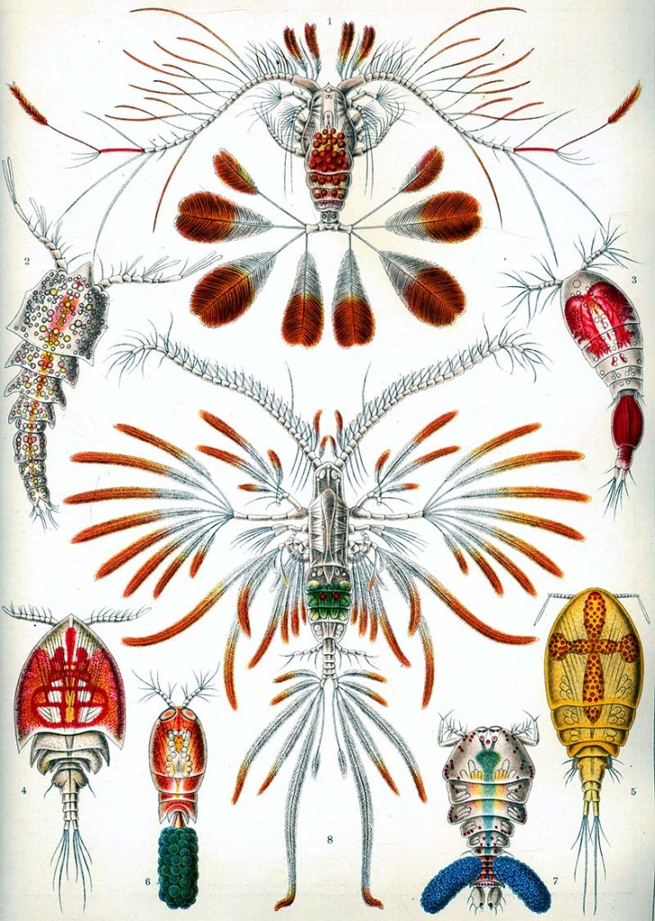 Copepods Vintage Print