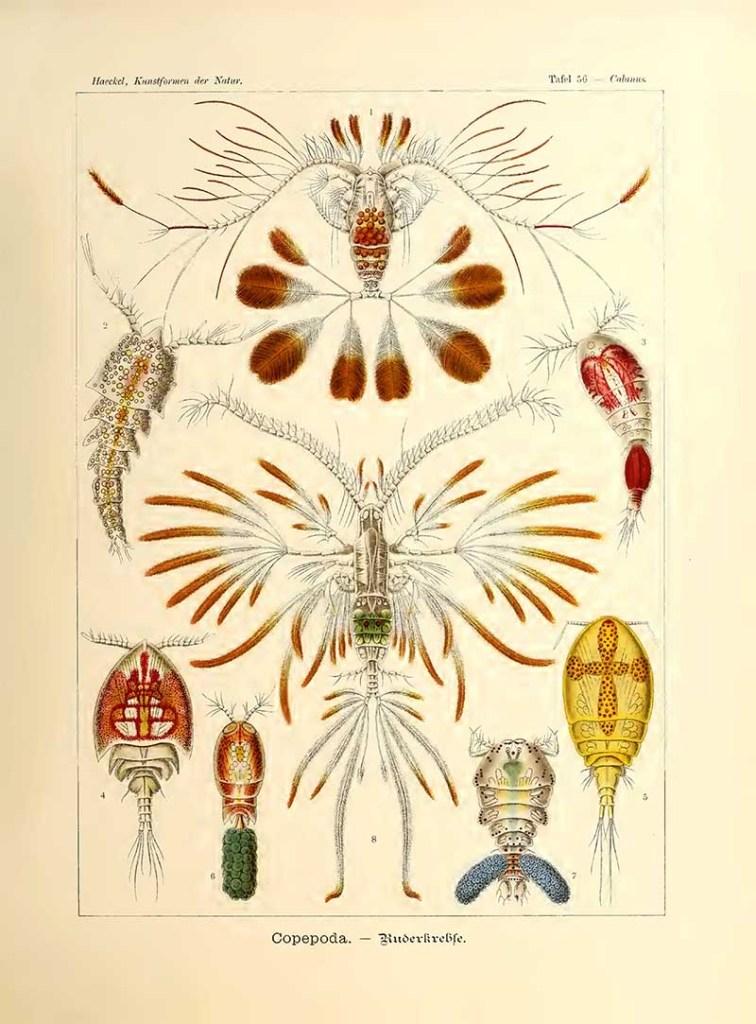 Copepoda Ernst Haeckel Artform prints