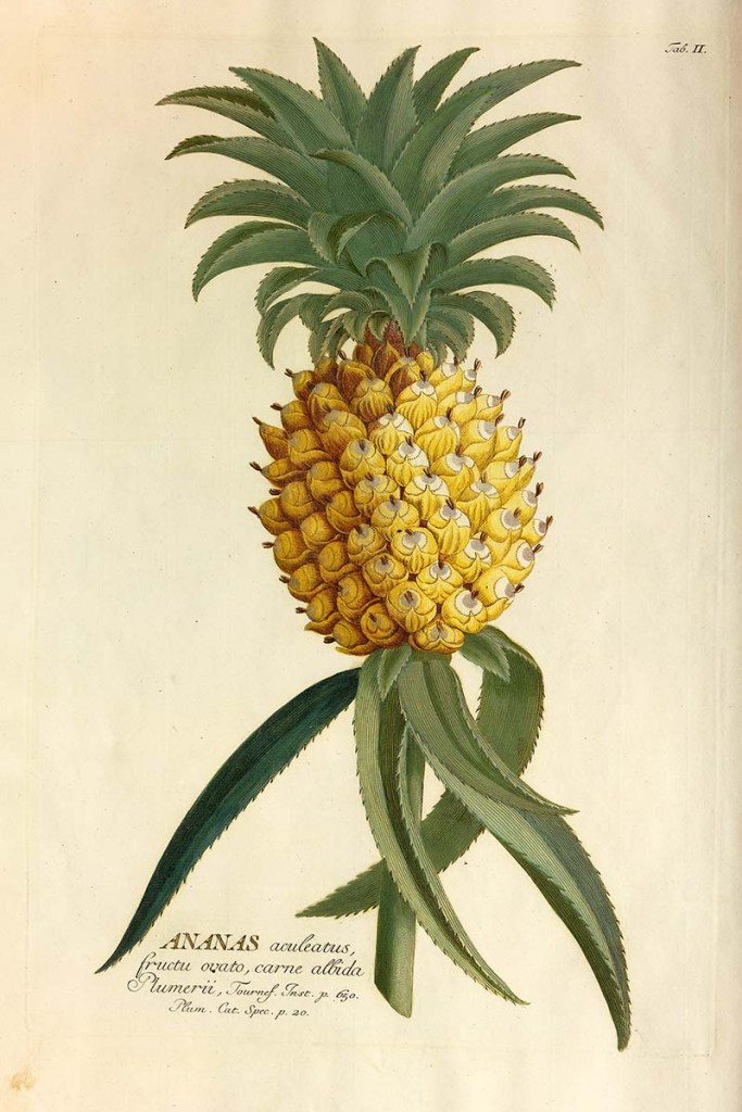 1765 Pineapple drawing