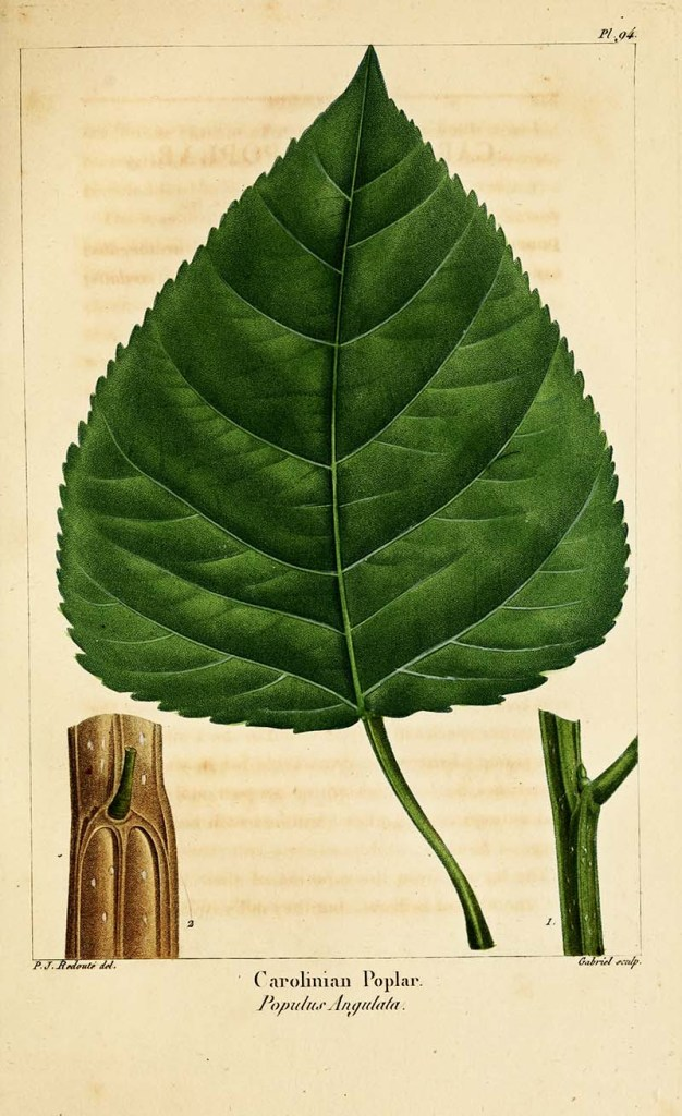 cottonwood poplar leaf botanical print