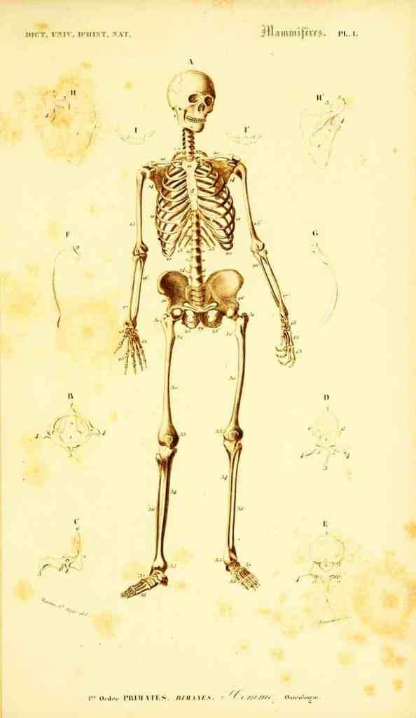 vintage skeletal drawing