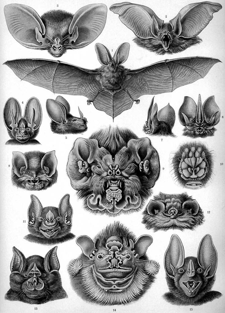 Ernst Haeckel Bat drawings