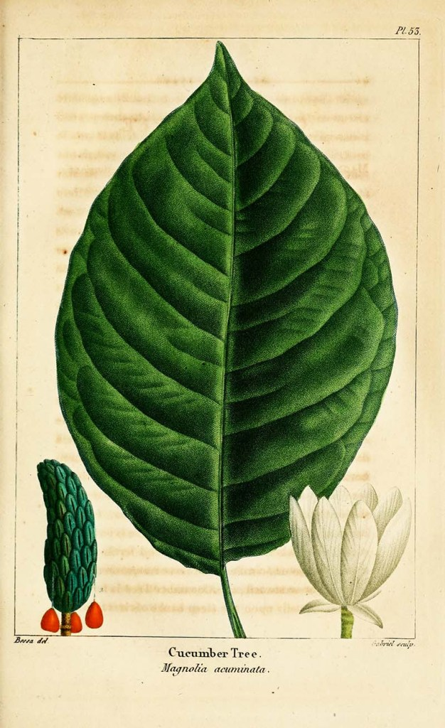 Leaf botanical of a cucumber magnolia tree