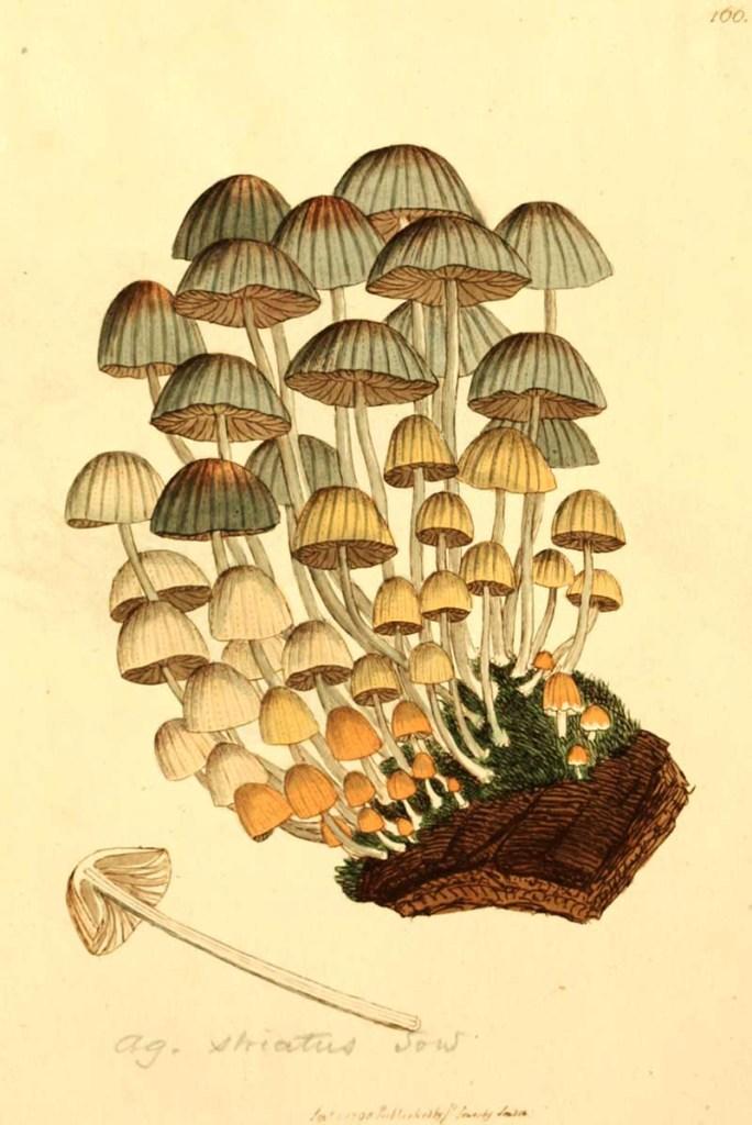 Fairy inkcaps