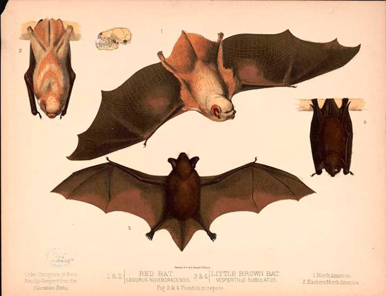 North American bats