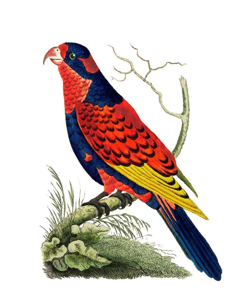 Indian lory illustration