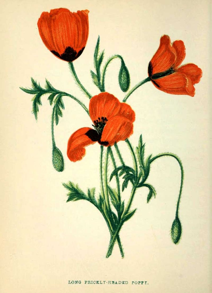Long Prickly Headed Poppy