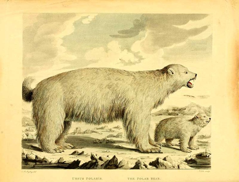 vintage illustration of polar bear and cub