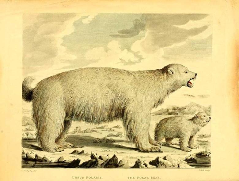 vintage illustration of polar bear and cub