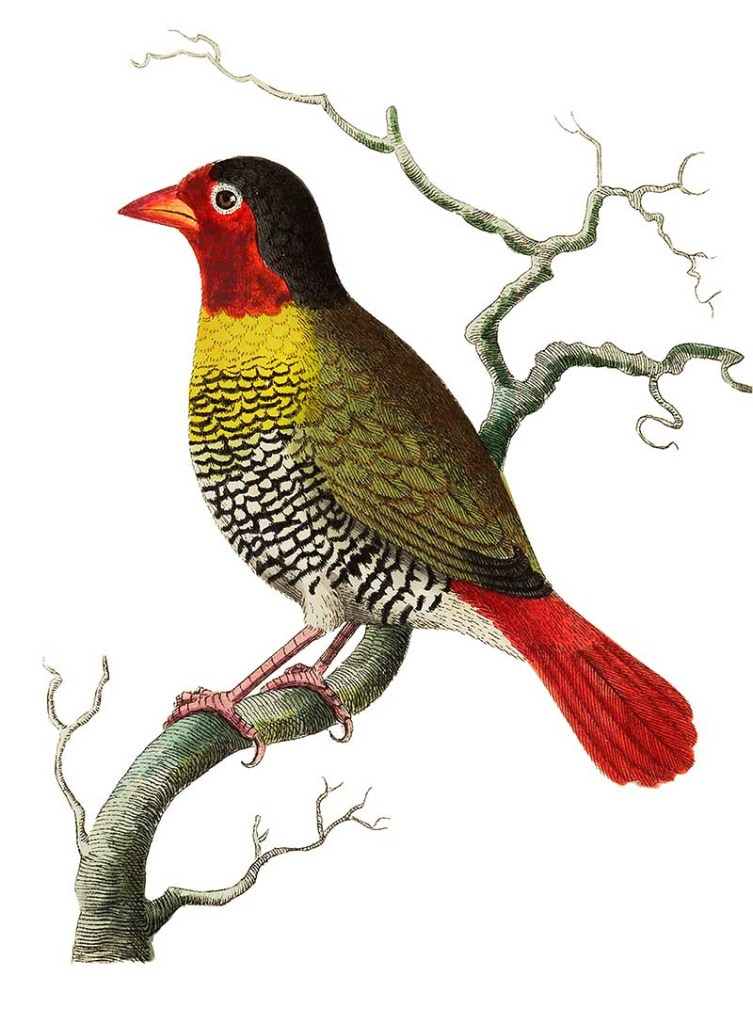 Variegated finch or Elegant finch illustration f