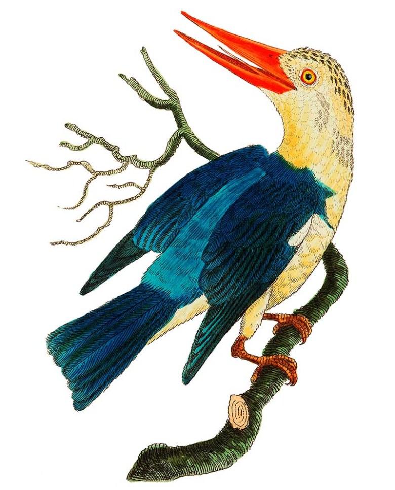 White-headed Kingfisher or Blue-green Kingfisher illustration