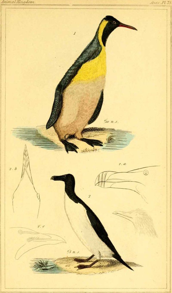 King penguin illustration