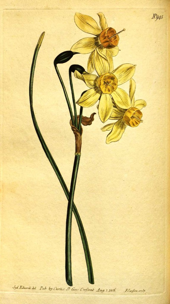 vintage daffodil painting