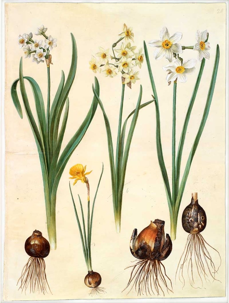 narcissus illustrations