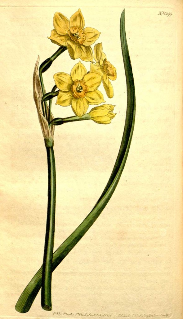 Curtis Botanical daffodil