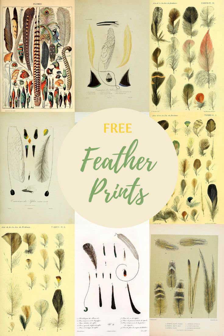 Vintage illustrations of feathers