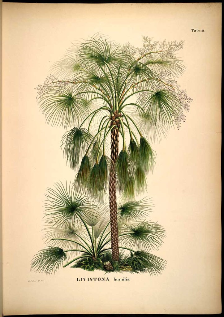 Australian Sand Palm picture