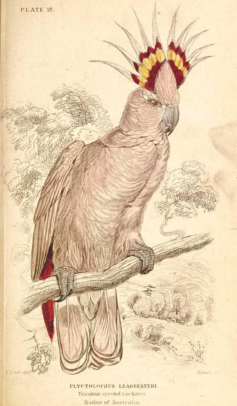 Tricolor crested cockatoo