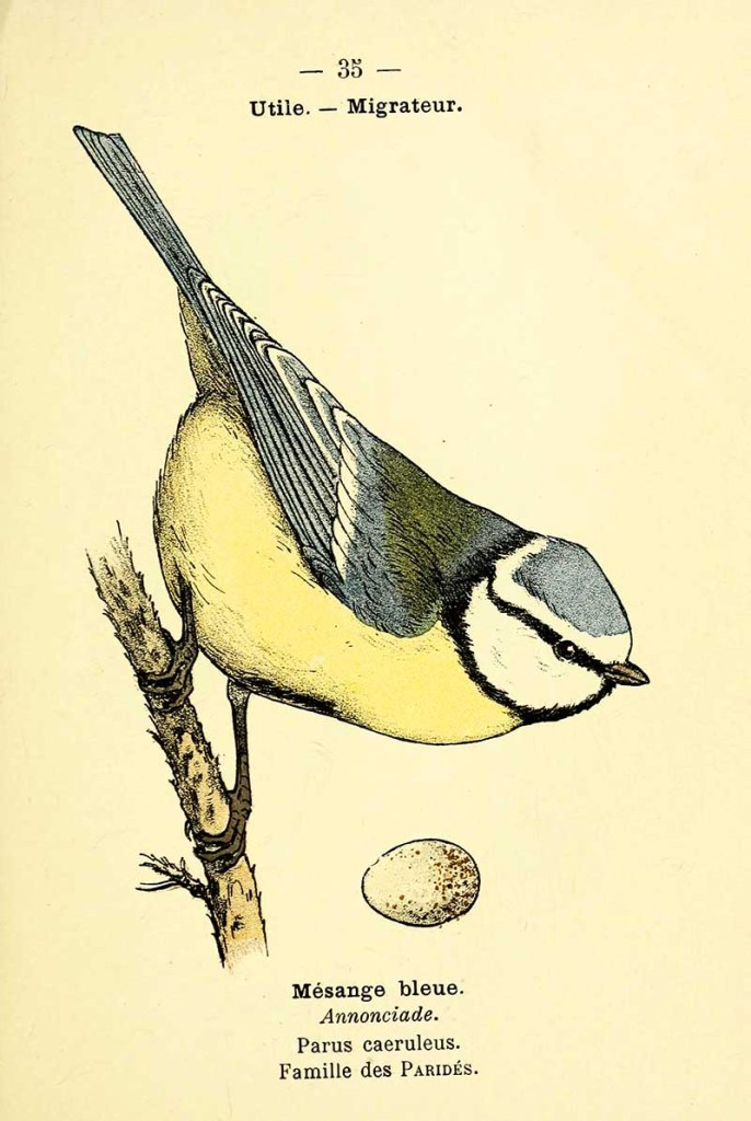 Blue tit and egg