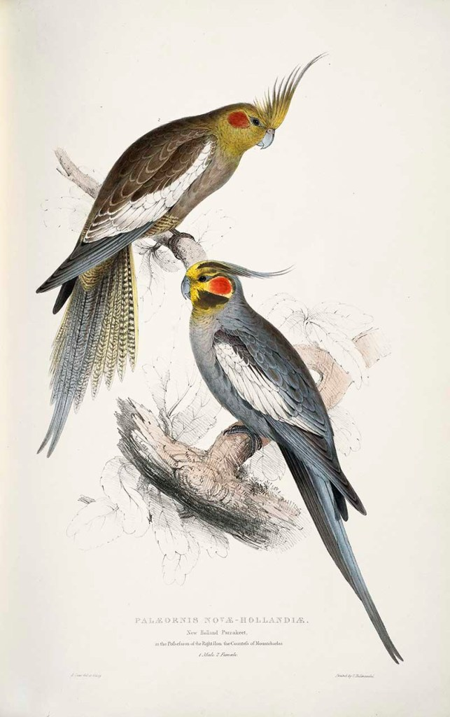 pair of cockatiels