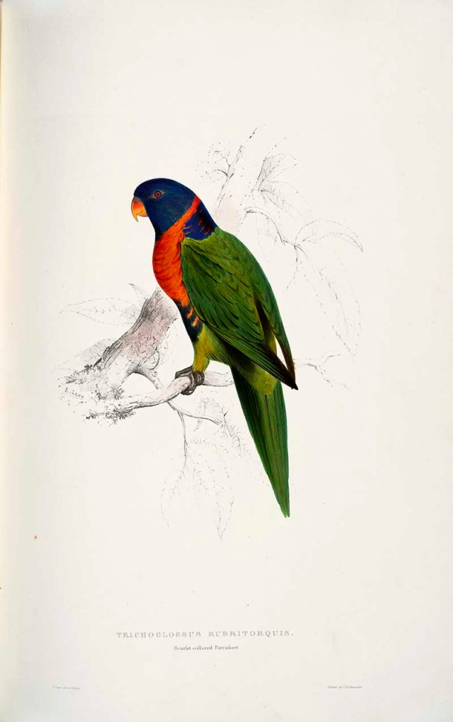 Scarlet-collared Parakeet by Edward Lear