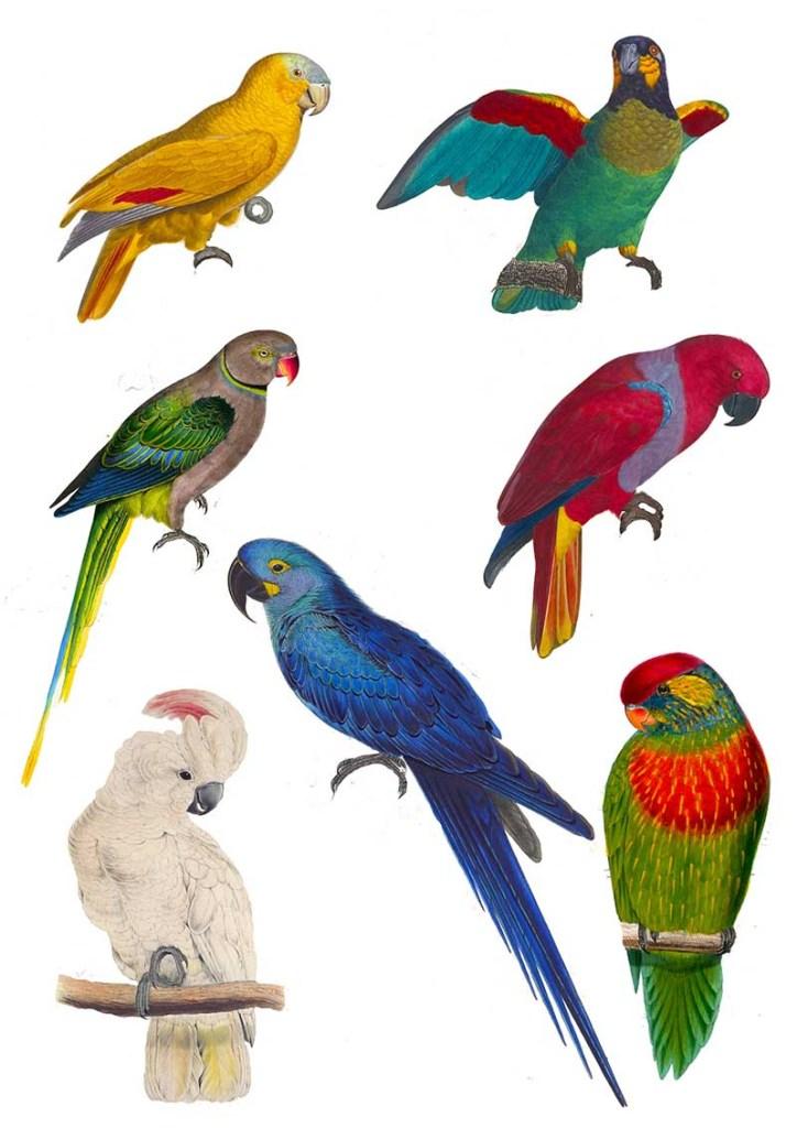 Vintage parrot clip art.