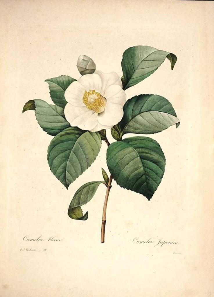 Camillia Pierre Joseph Redoute