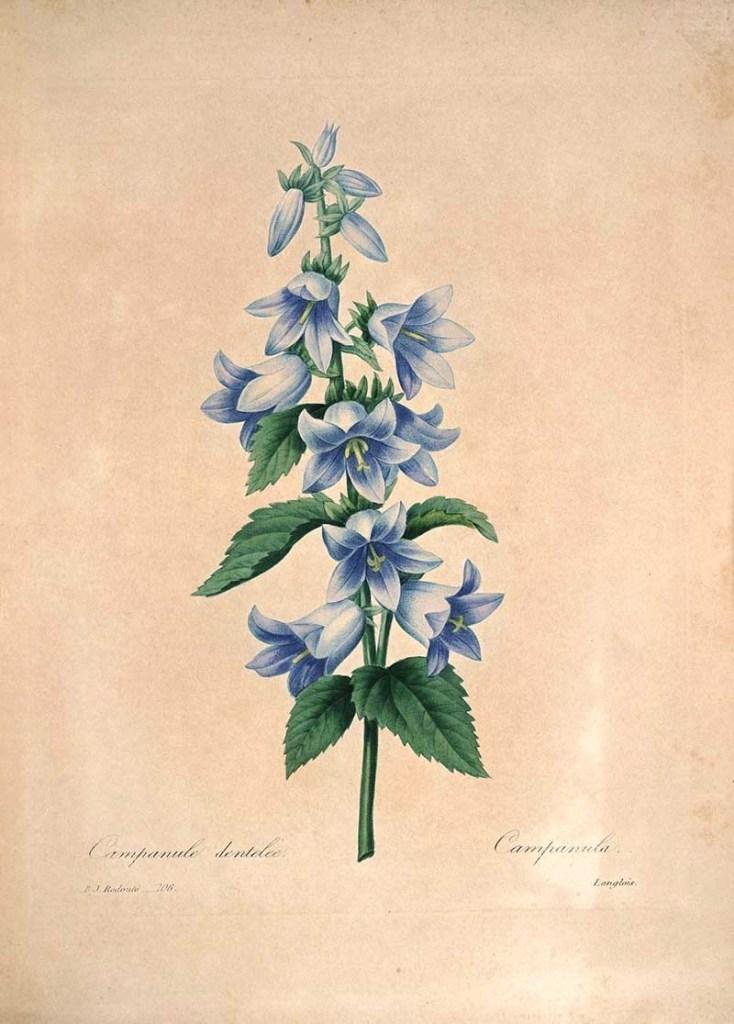 Campanula - Bell Flower Choix_des_plus_belles_fleurs