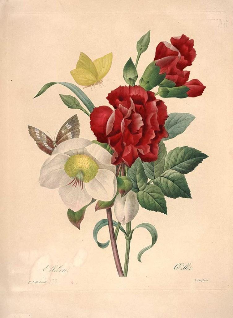 """Ellebore Oeillet, from """"Choix des plus belles fleurs"""