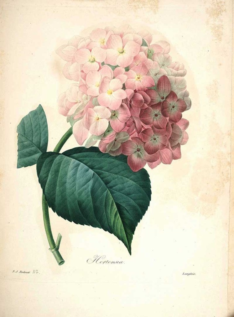Hortensia - Pierre Jospeh Redoute