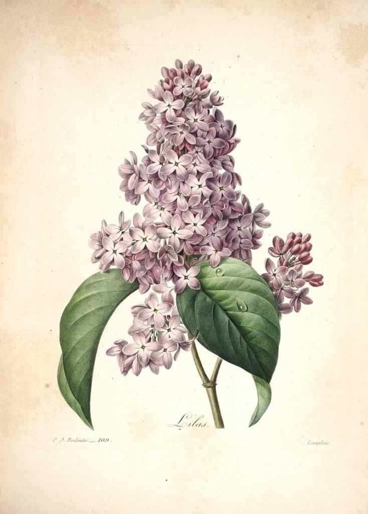 Lilac Print from Choix des plus belles fleurs
