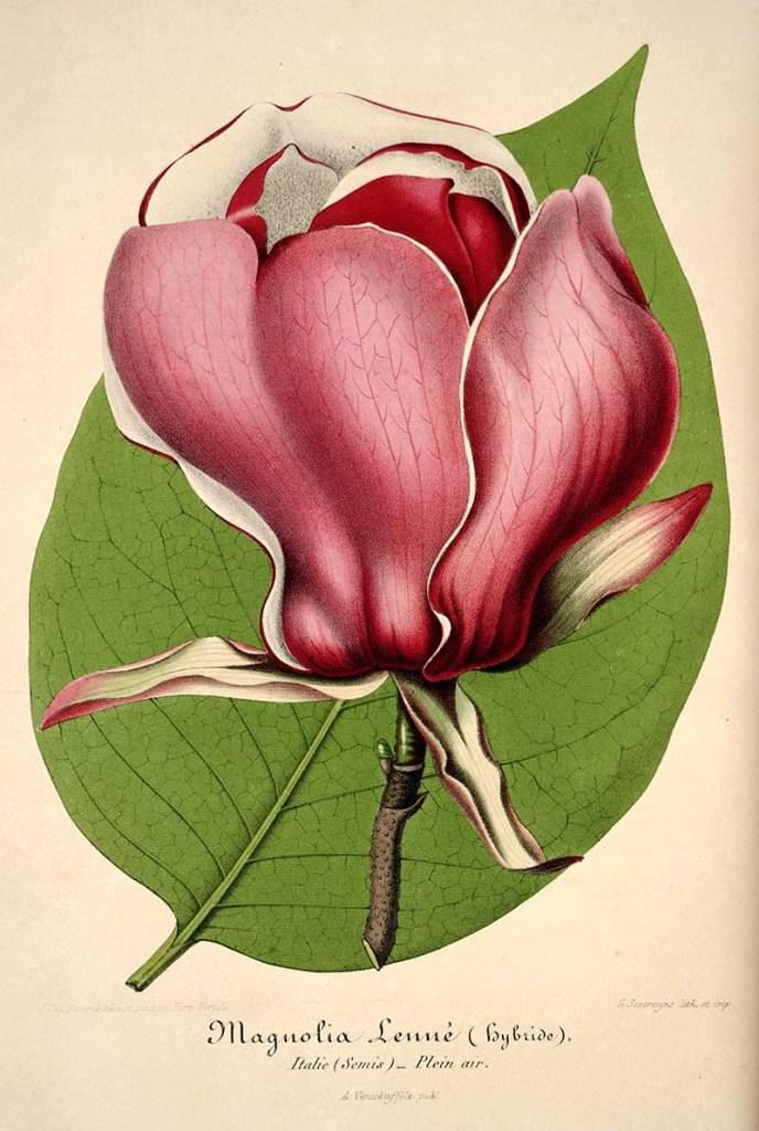 vintage magnolia print