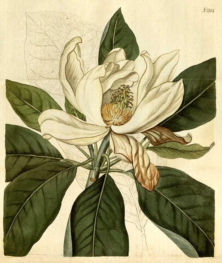 agnolia × thompsoniana