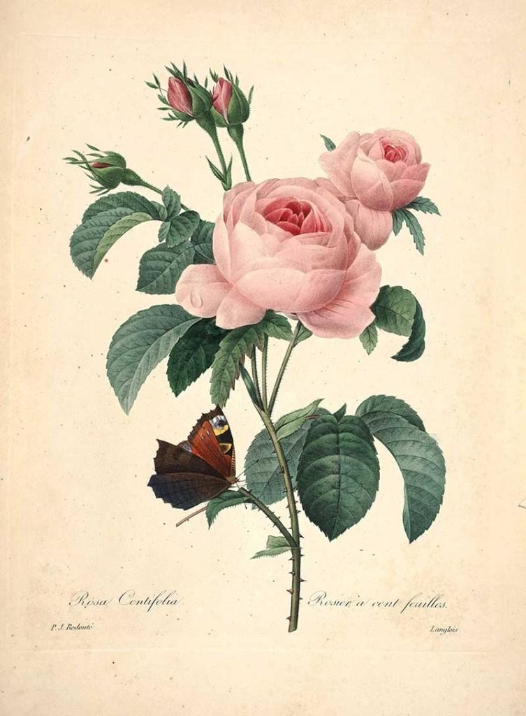 Redoute Flowers - Rosa Centifolia