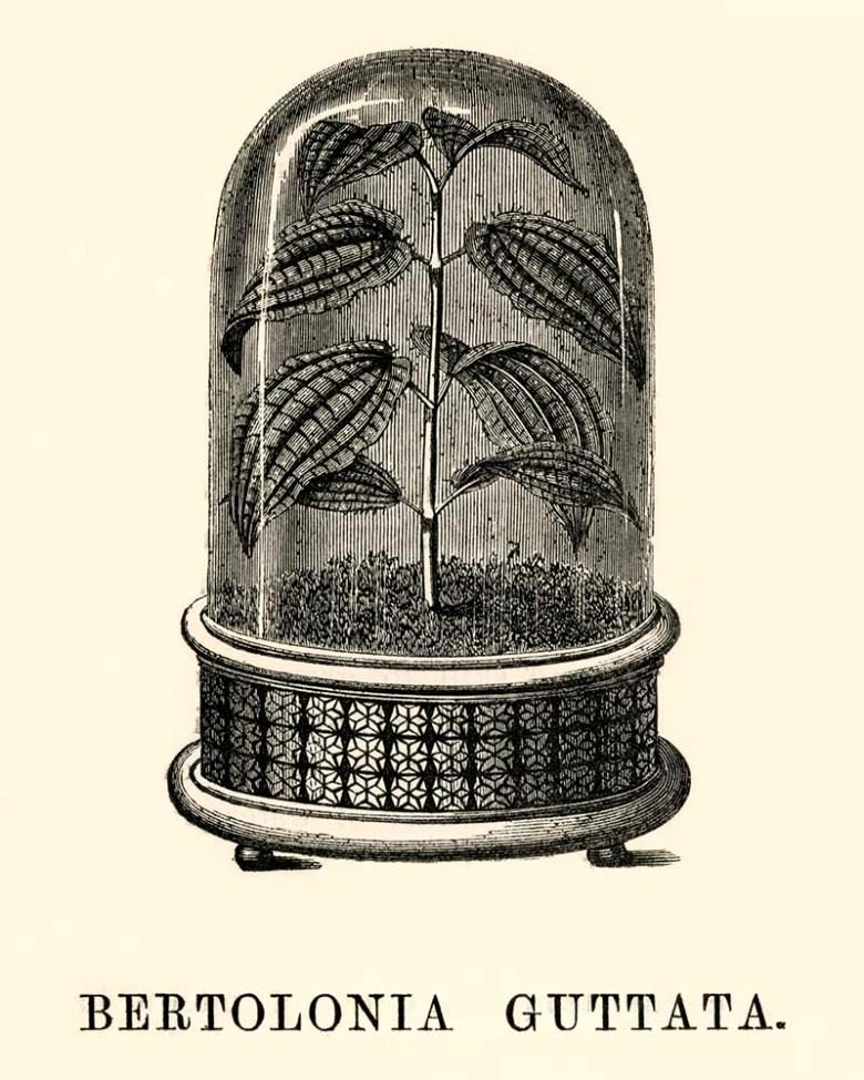Bertolonia Guttata in Cloche