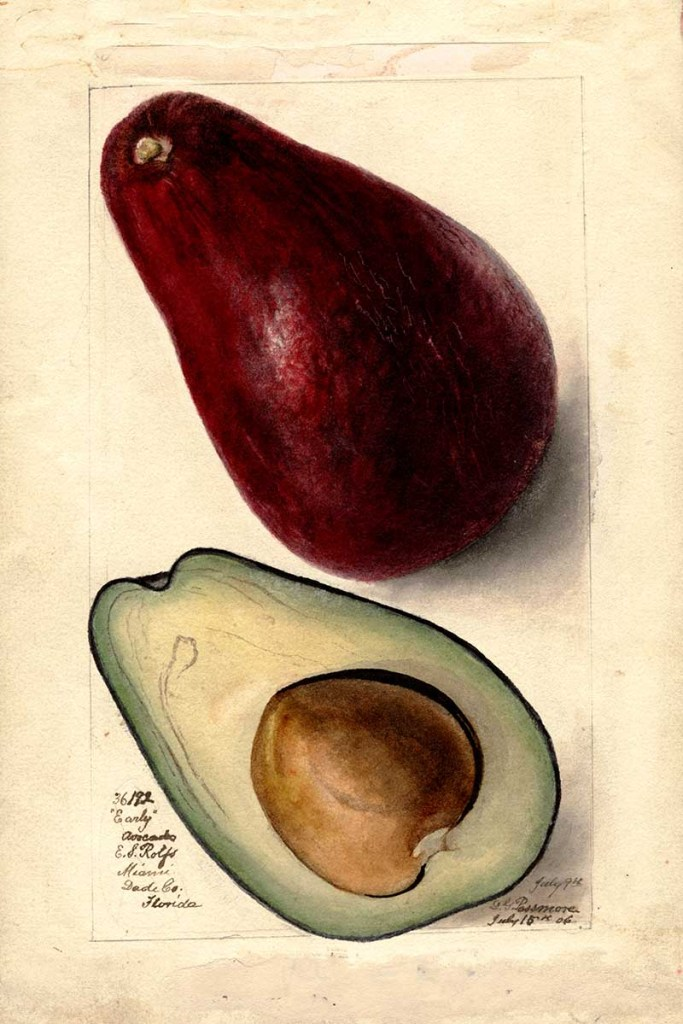 avocado watercolor early variety